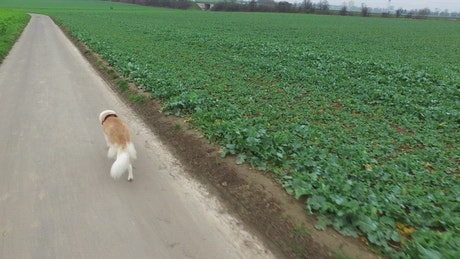 Dog walking by an agriculture green field