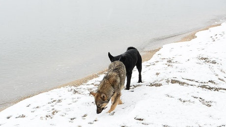 Dogs exploring the snow