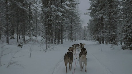 Dogsled team heading through a forest