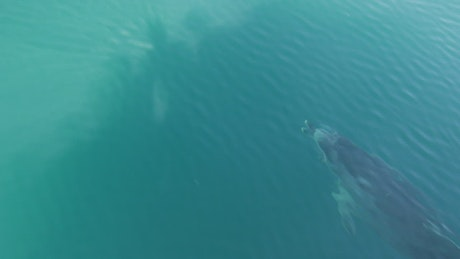Dolphin swimming in the ocean