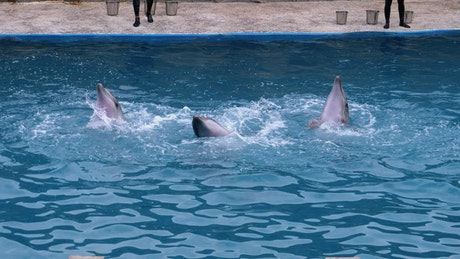 Dolphins performing tricks in the pool
