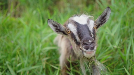 Domestic goat in the pasture