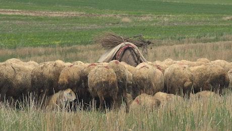Donkey surrounded by sheep