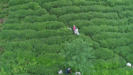 Drone flying above a Tea Terrace