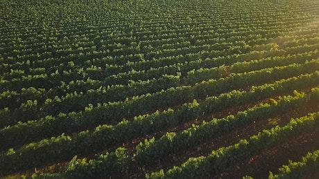 Drone flying across a Vineyard