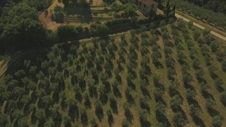 Drone flying across Olive fields
