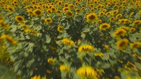 Drone flying across Sunflowers