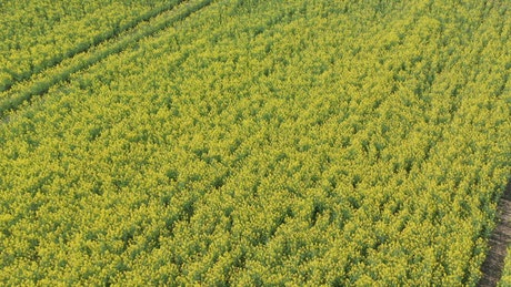 Drone moving over fresh crops