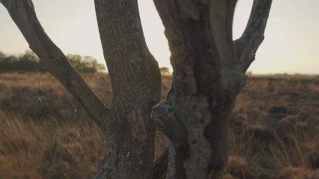 Dry tree in the desert at sunset