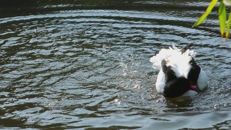 Duck getting wet in the lake
