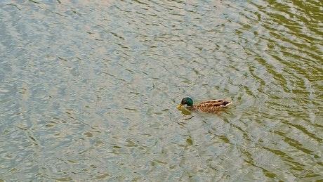 Duck swimming upstream