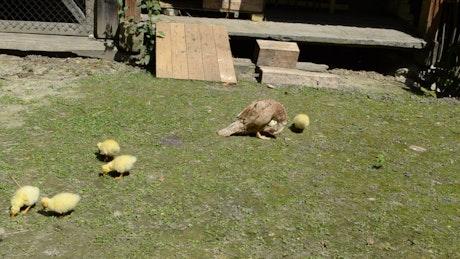 Ducklings in a field