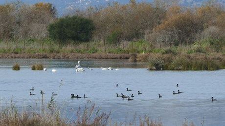 Ducks and swans in a lake
