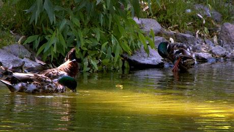 Ducks drinking water in a lake