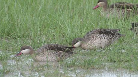 Ducks feeding by a lake