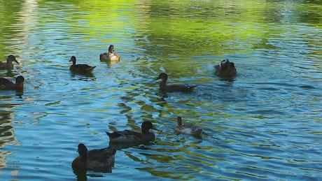 Ducks having fun in a lake