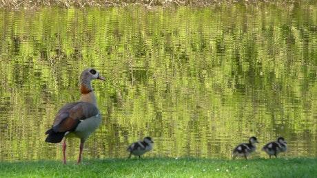 Ducks near a lake in a park