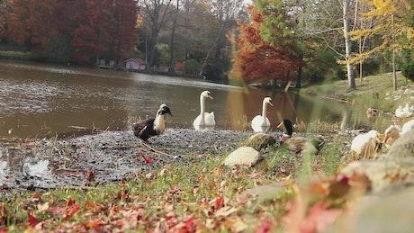 Ducks near a river in an autumn forest