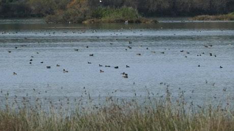 Ducks swimming in a big lake
