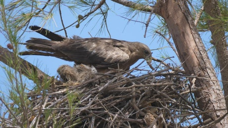 Eagle building a nest in a tree