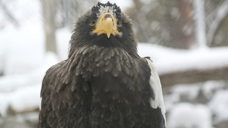 Eagle in the snow closeup