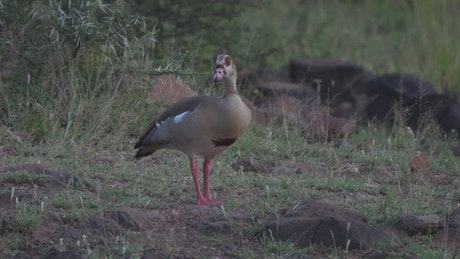 Egyptian goose grazing in the ground