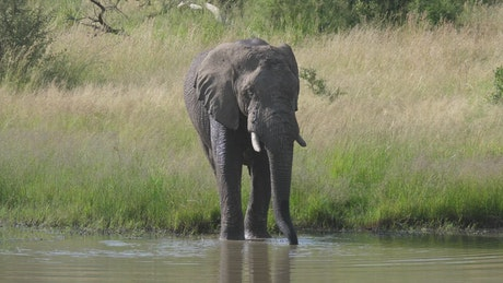 Elephant drinking from a lake