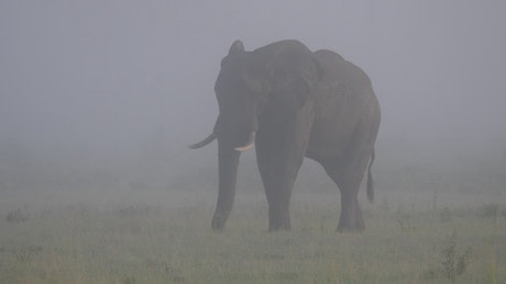Elephant grazing on a misty savanna
