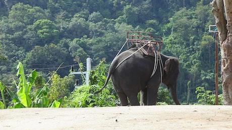 Elephant moving with rhythm