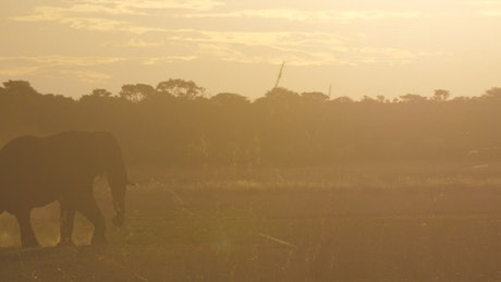 Elephant walking in the sunset