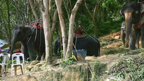 Elephants eating plants