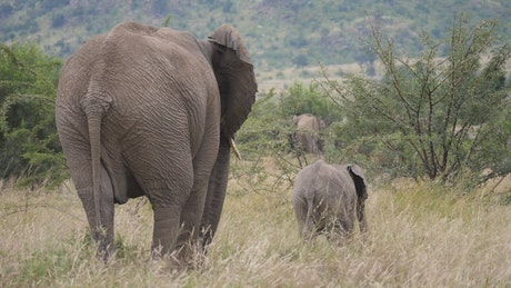 Elephants in tall grass