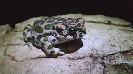 European green toad winks