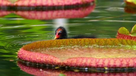 Exotic bird swimming among lotus flowers in a lake