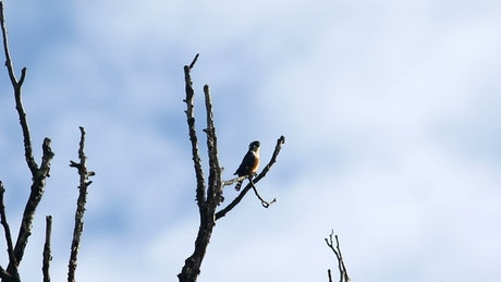 Falconet perched in a tree