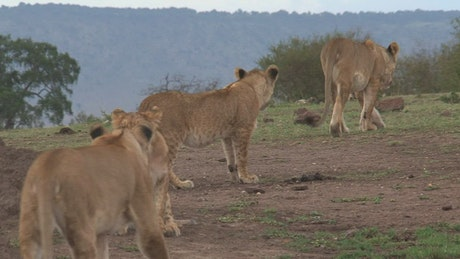 Family of lions walking on the savanna