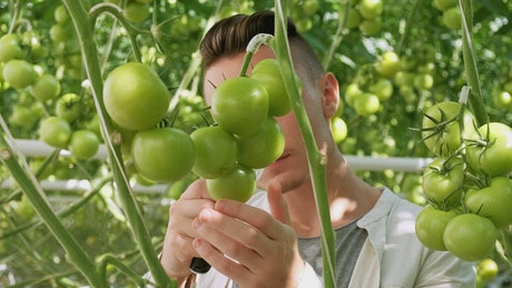 Farmer checking vegetables quality in a greenhouse