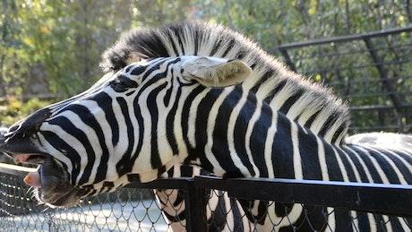 Feeding a Zebra at a Zoo
