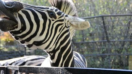 Feeding a Zebra at the Zoo