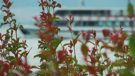 Ferryboat in the back of flowers in the shore