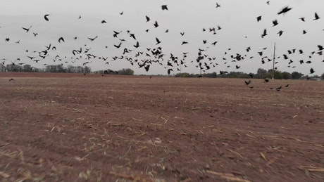 Field for sowing with many crows taking off