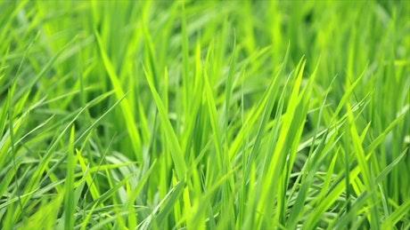 Field full of lush grass