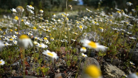 Field of daisies, close up
