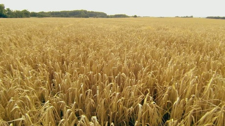 Field of wheat ready for harvesting