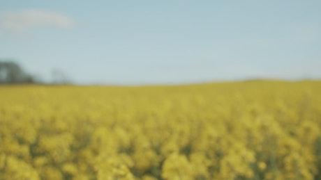 Field of yellow crops in hazy sunshine