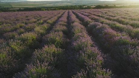 Fields of Lavender plants