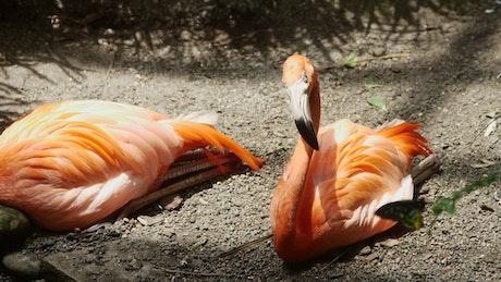 Flamingo birds resting on the ground