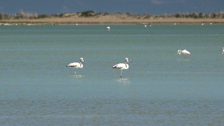 Flamingo birds walking on the lake