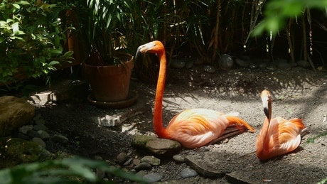 Flamingo resting in the shade