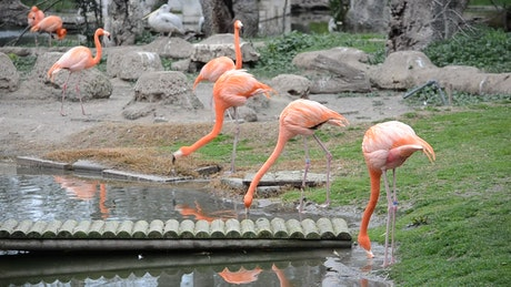 Flamingos drinking from a pond